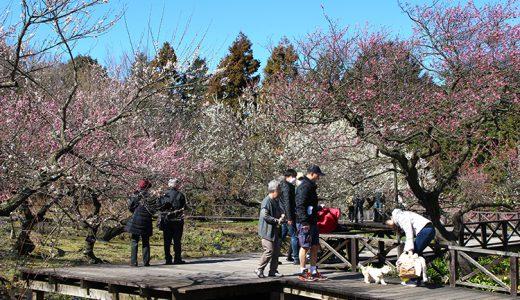 200品種の梅が楽しめる!小田原フラワーガーデンの梅まつり